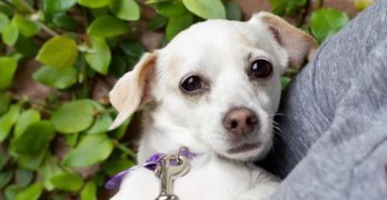 Nyla, an 8-year-old Italian greyhound/Chihuahua mix, was one of four animals that was adopted at a special event hosted by Pups 'N' Purrz and Umbrella of Hope this weekend. Nyla's previous owner had died in November. (Courtesy photo)
